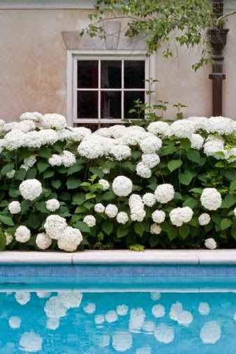 hydrangeas-white-garden-pool