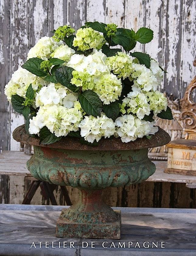 hydrangeas-white-crusty-urn-antique-stunning