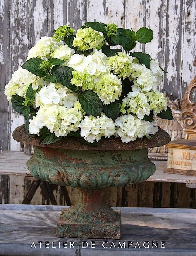 hydrangeas-white-crusty-urn-antique-stunning