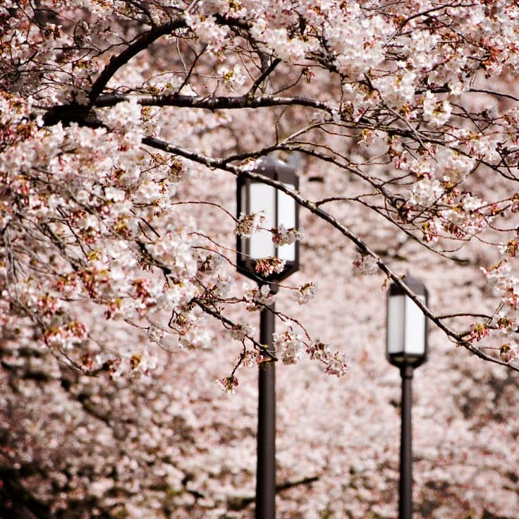 change-the-world-inspiration-cherry-blossoms