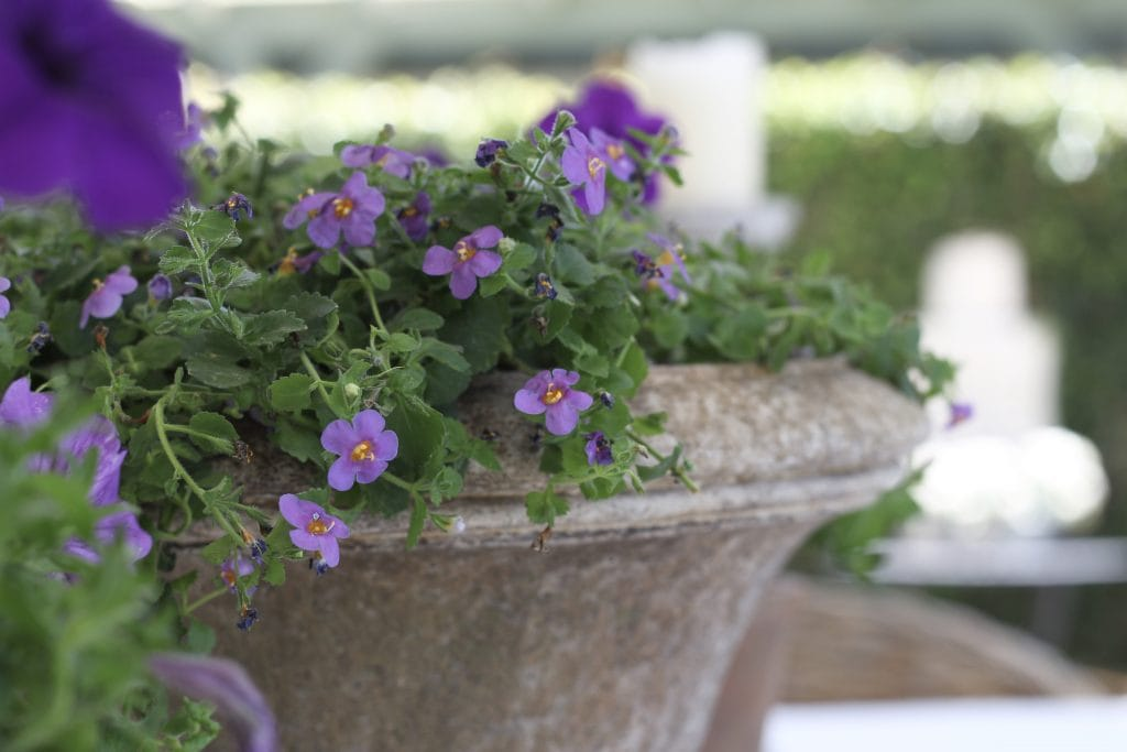 purple-bacopa-pot-backyard-refresh