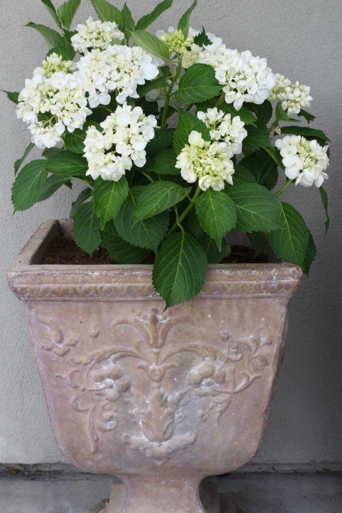 outdoor-space-hydrangeas-pot