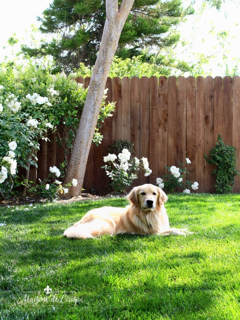 landscape remodel reveal with roses and golden retriever on lawn