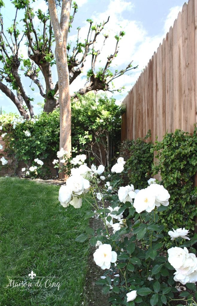 landscape remodel reveal white iceberg roses against fence