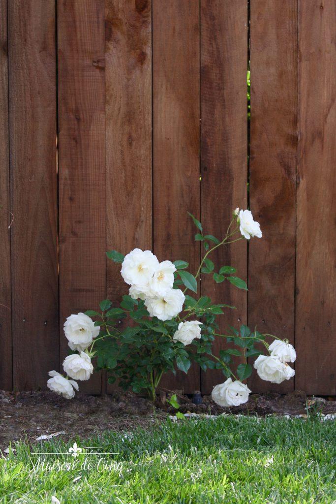 landscape remodel reveal white iceberg roses
