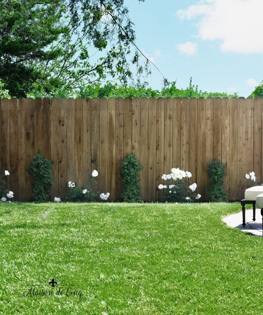 landscape remodel reveal green lawn and white roses pretty yard