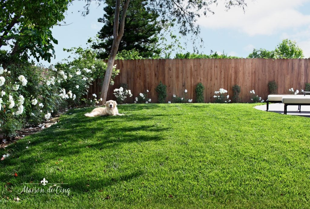 landscape remodel reveal new lawn and roses blue sky golden retriever
