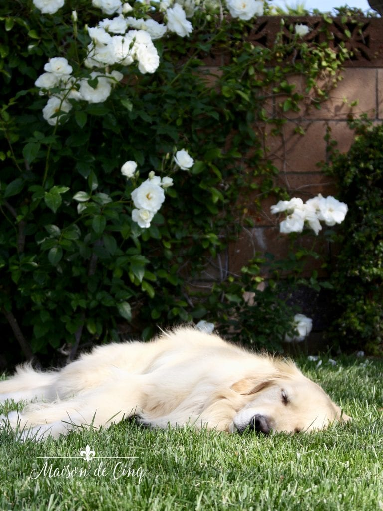 adorable golden retriever on lawn asleep with roses in background