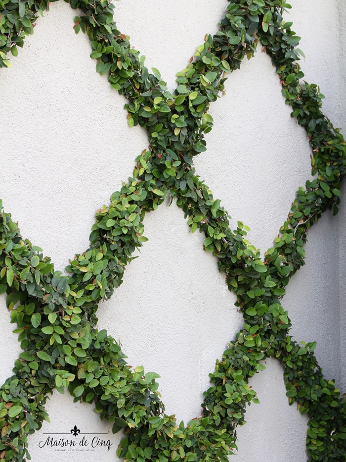 close up of espalier of creeping fig plants on wall