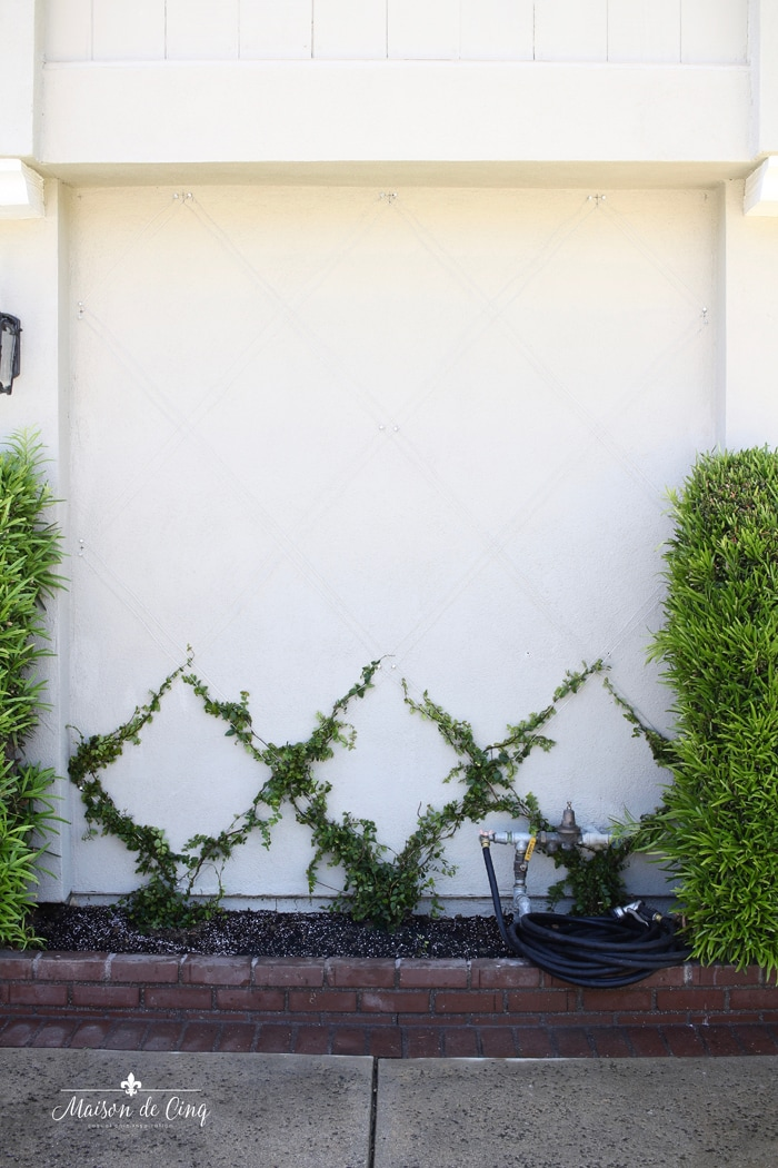 creeping figs planted to create belgian fence