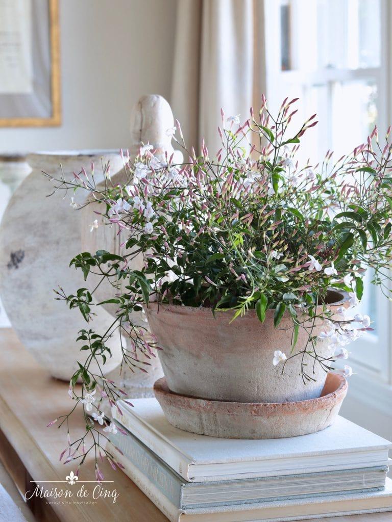 decorating with houseplants flowering jasmine in terracotta pot